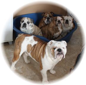 English Bulldog Breeder in Ontario MBM Bulldogs